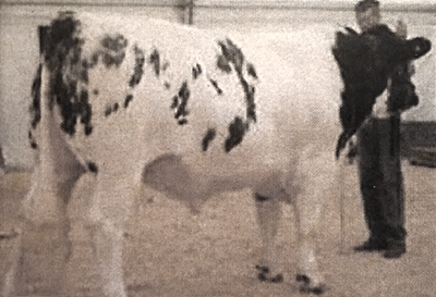 Belgian Blue Bull - Woodleigh George 2nd